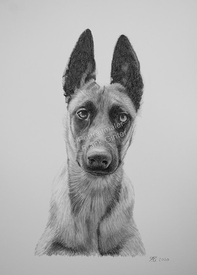 Bleistiftzeichnungen, Tierportraits, Schäferhunde, Bleistiftzeichnung, Tierzeichnungen, Tierzeichner