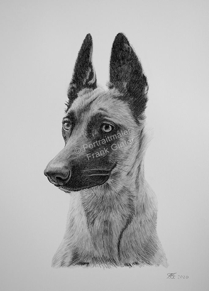 Bleistiftzeichnungen Tiere Hunde, Tierportraits vom Foto, Schäferhunde, Bleistiftzeichnung, Tierzeichnungen, Tierzeichner Hunde