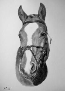 Kohlezeichnungen, Tierportraits Pferde, Kohlezeichnung, Tierzeichnungen, Pferdeportrait