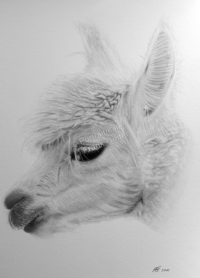 Bleistiftzeichnung eines Alpaka, Tierzeichnungen, Bleistiftzeichnungen Tierportraits, Alpaka-Zeichnung Bleistift
