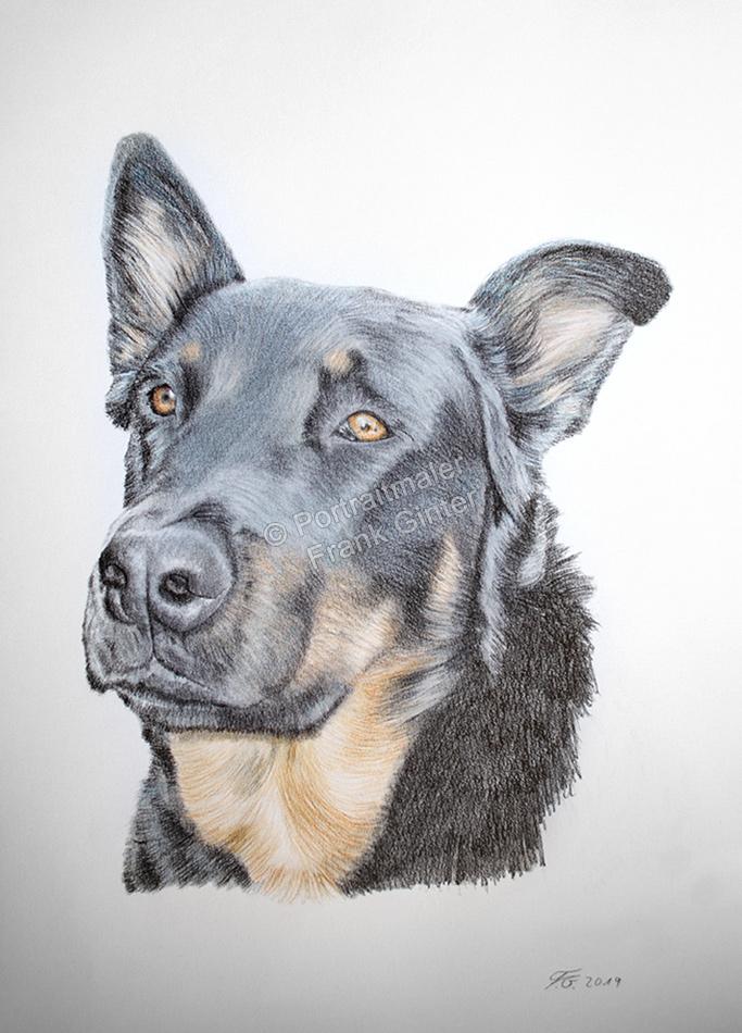 Buntstiftzeichnungen, Tierportraits Hunde, Buntstiftzeichnung, Tierzeichnungen, Hunde mit Buntstiften gezeichnet, Tierzeichner