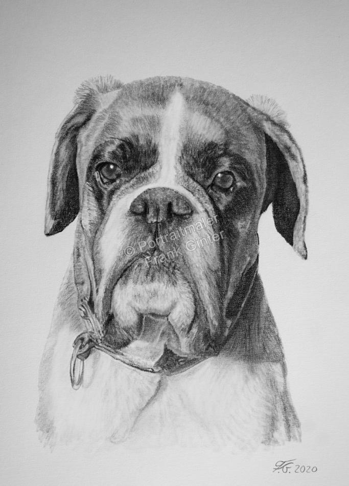 Boxerhund mit Bleistift gezeichnetes Hundeportrait